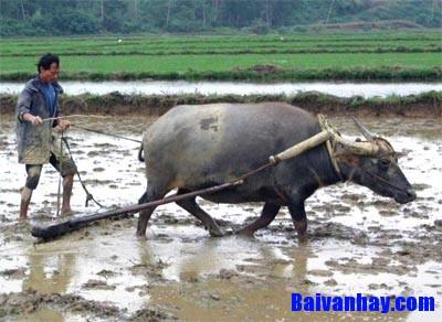 Tả một bác nông dân đang cày ruộng