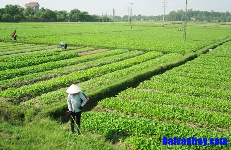 Tả cánh đồng rau vụ đông ở làng em