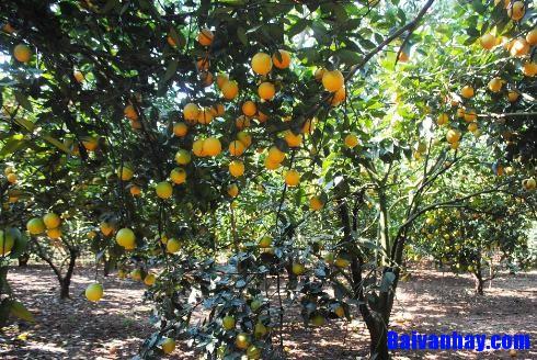 van mau ta cay cam - Tả cây cam nơi làng quê