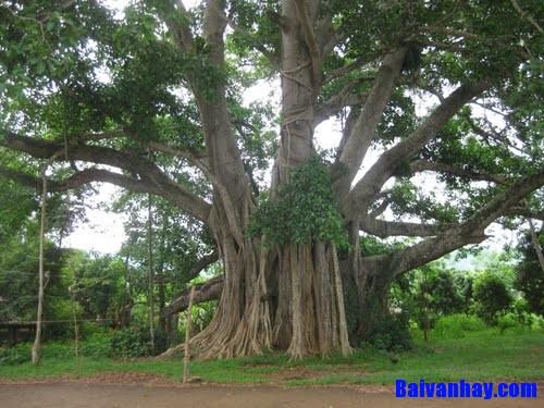 Tả cây đa nơi vườn quê, làng quê