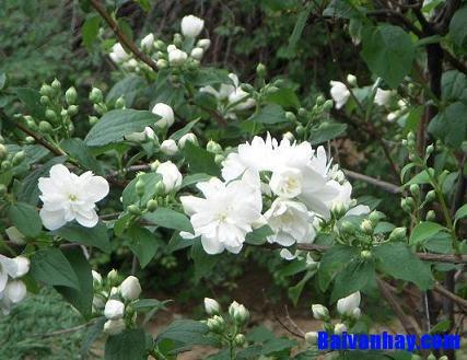 Tả một loài hoa giàu hương sắc mà em yêu thích