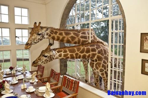 Tả con hươu cao cổ trong vườn thú