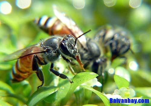 van mau ta con ong mat - Tả con ong mật