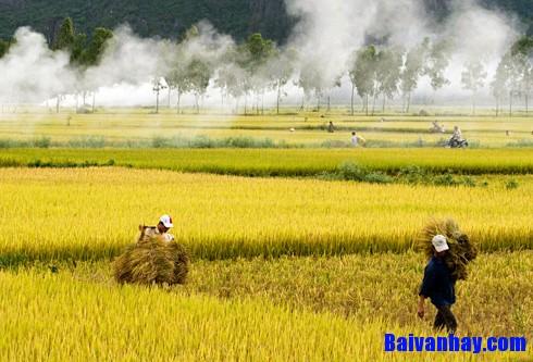 Tả cánh đồng lúa trong mùa gặt