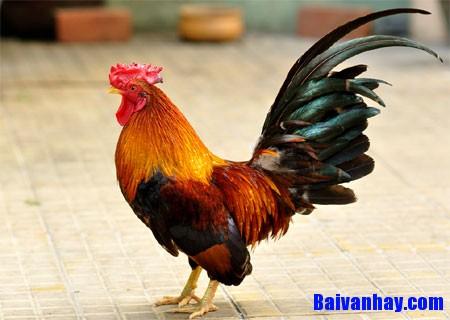 Tả một con gà trống mà em chăm sóc